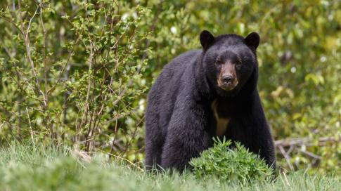 How to Scout for Spring and Fall Black Bears Preview Image