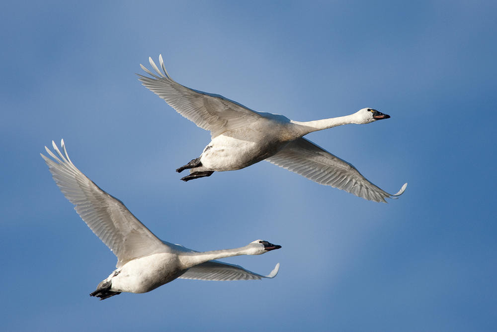 Whistling (Tundra) Swan