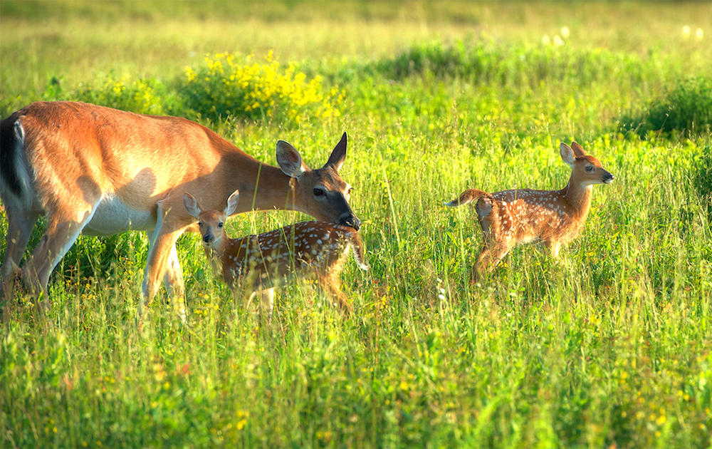 Myth: All Twin Fawns Are Identical Twins