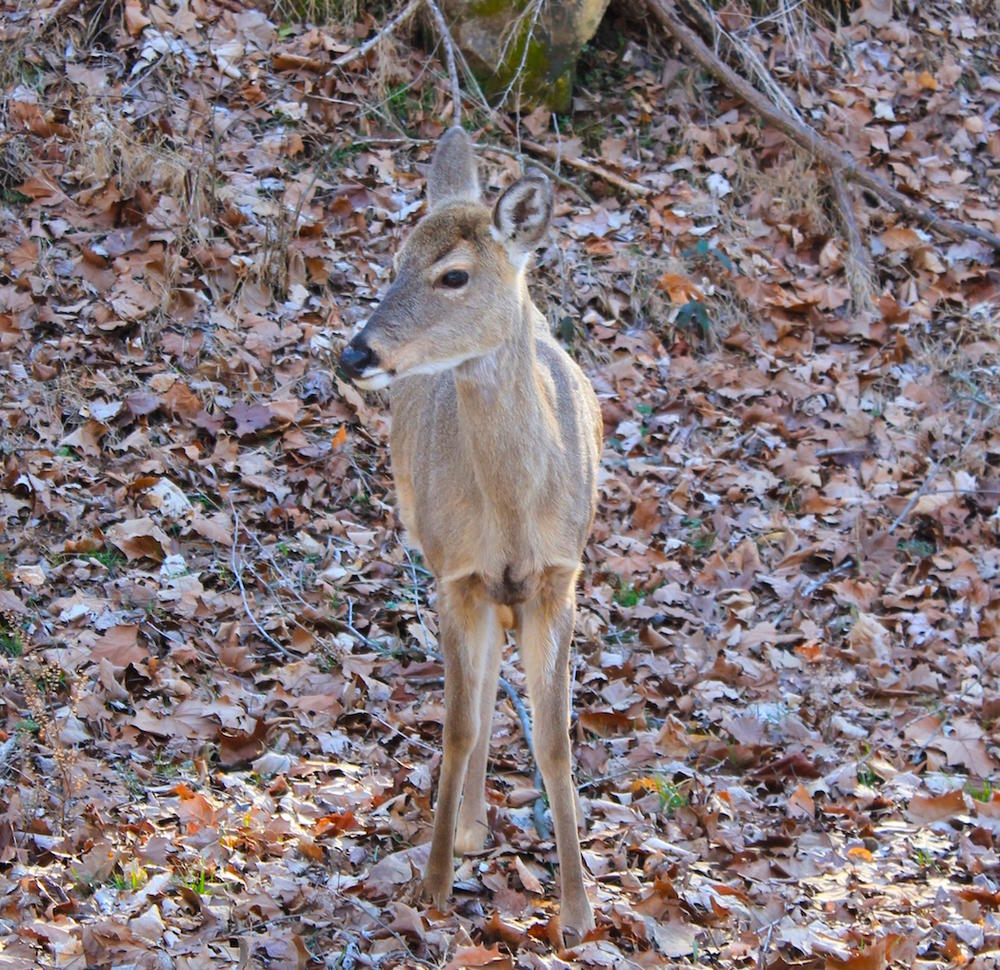 Myth: Age Determines Sexual Maturity of a Fawn
