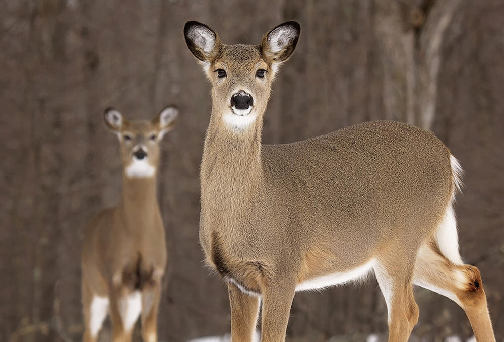The Biggest Doe Is Always the Oldest One