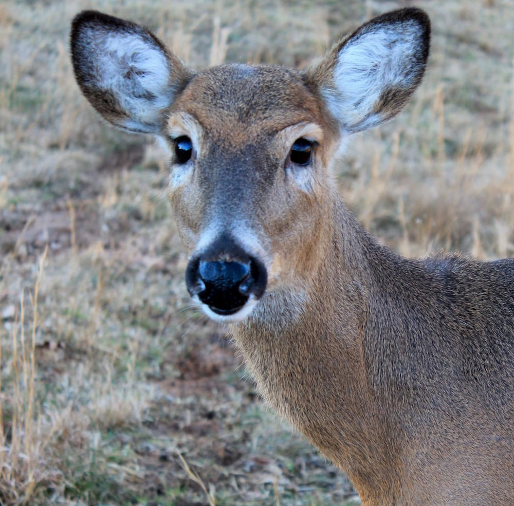 Myth: Whitetails Hear So Much Better Than We Do.