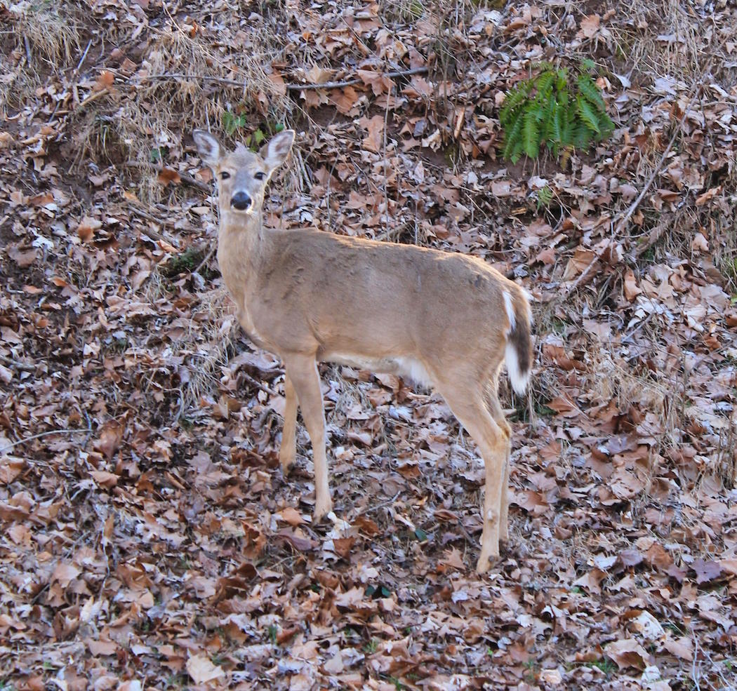 Age Determines Sexual Maturity in Doe Fawns