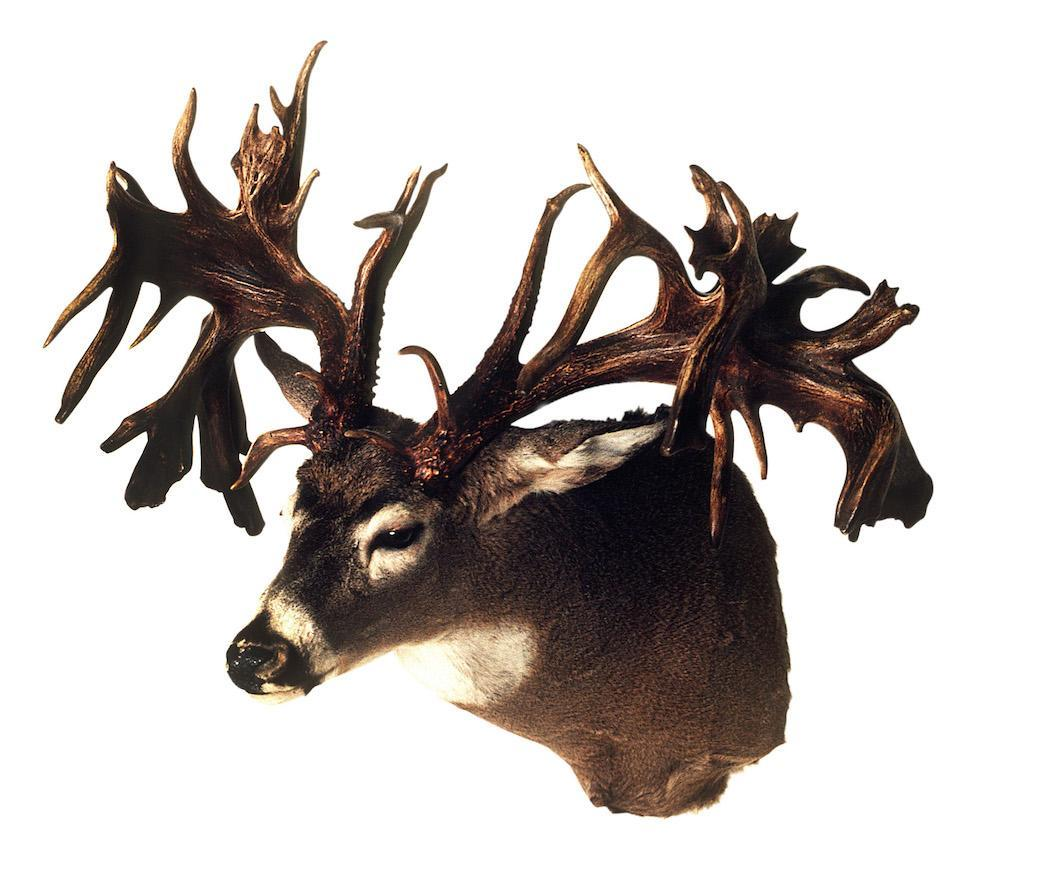 Whitetail with the Most Inches of Abnormal Antler