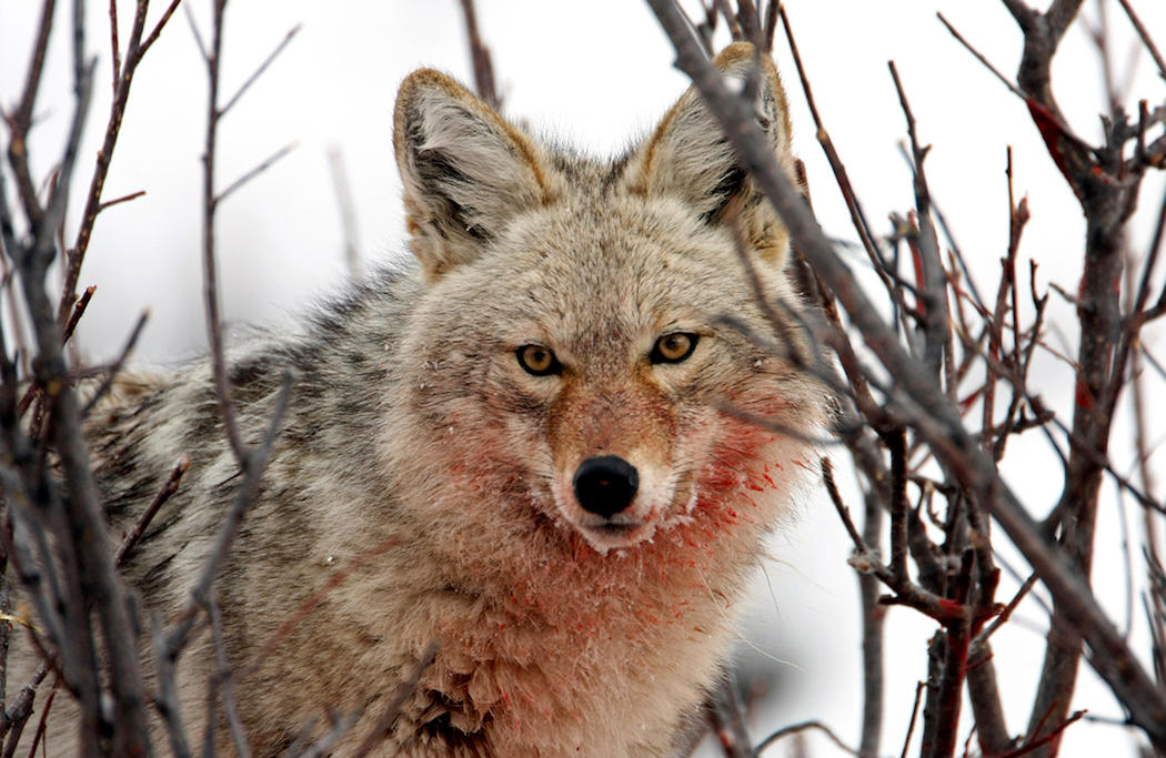 Myth: Coyotes Don't Greatly Effect Fawn Recruitment and They Don't Kill Adult Deer.