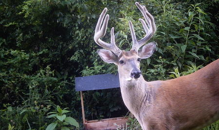 The False Nock Buck