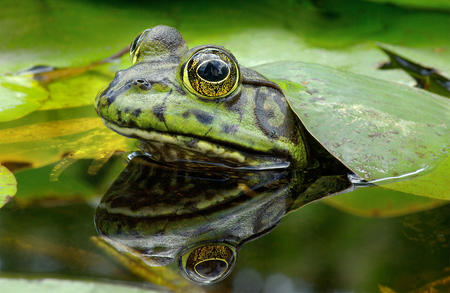 Big, mature bullfrogs are your target.