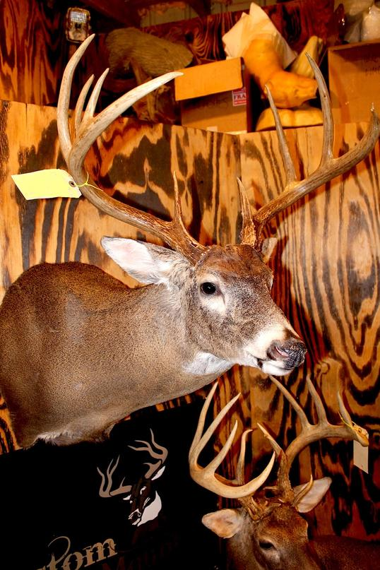 whitetail taxidermy poses for your next deer mount