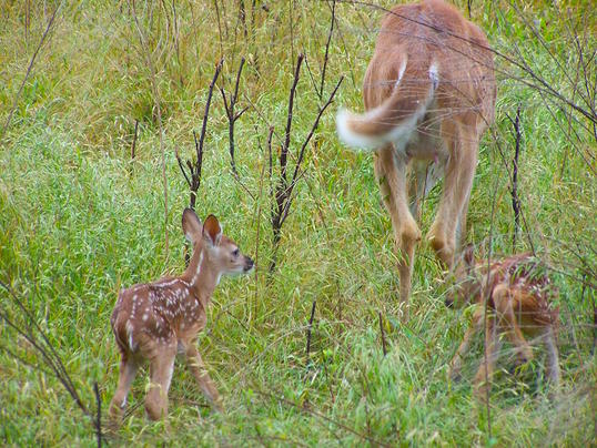 Myth: Every Doe Has Two Fawns