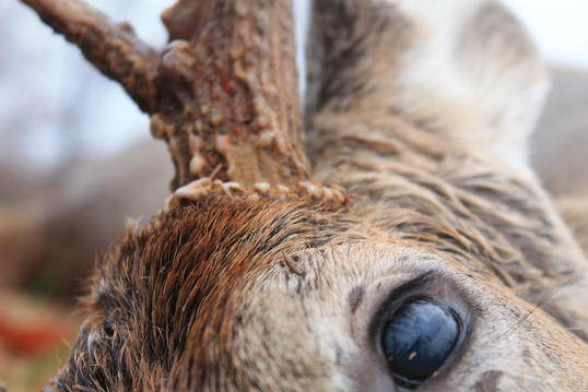Myth: Deer Can't See Color.