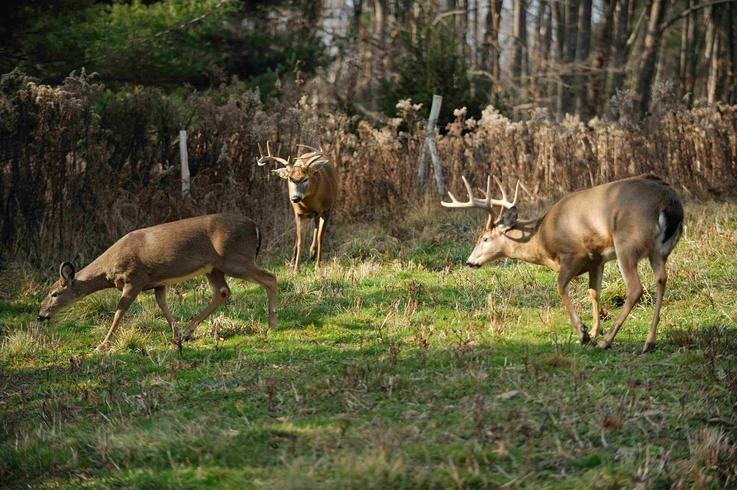 Whitetail Buck Chasing Does