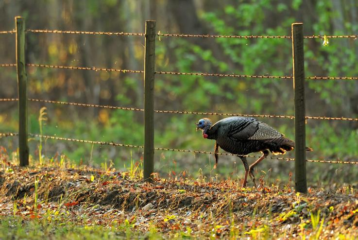 Turkey Across Fence