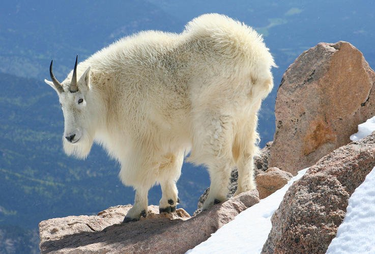 American Mountain Goat