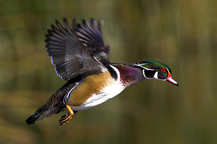 Mature Drake Wood Duck