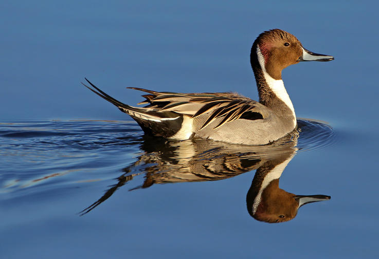 Full-Sprig Pintail