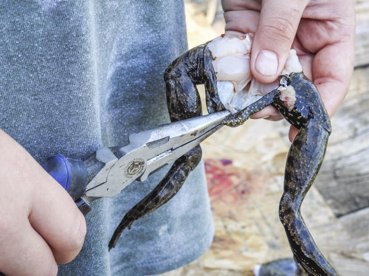 Use your fingers and a pair of pliers to remove the skin from the legs.