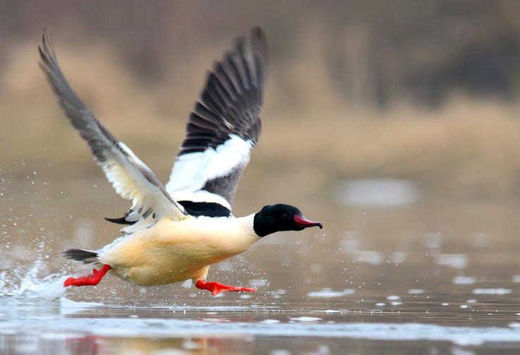 Other Mergansers