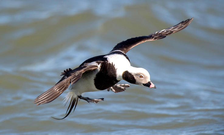 Long-tailed ducks mass by the thousands on Lake Michigan. Photo by Ray Hennessy