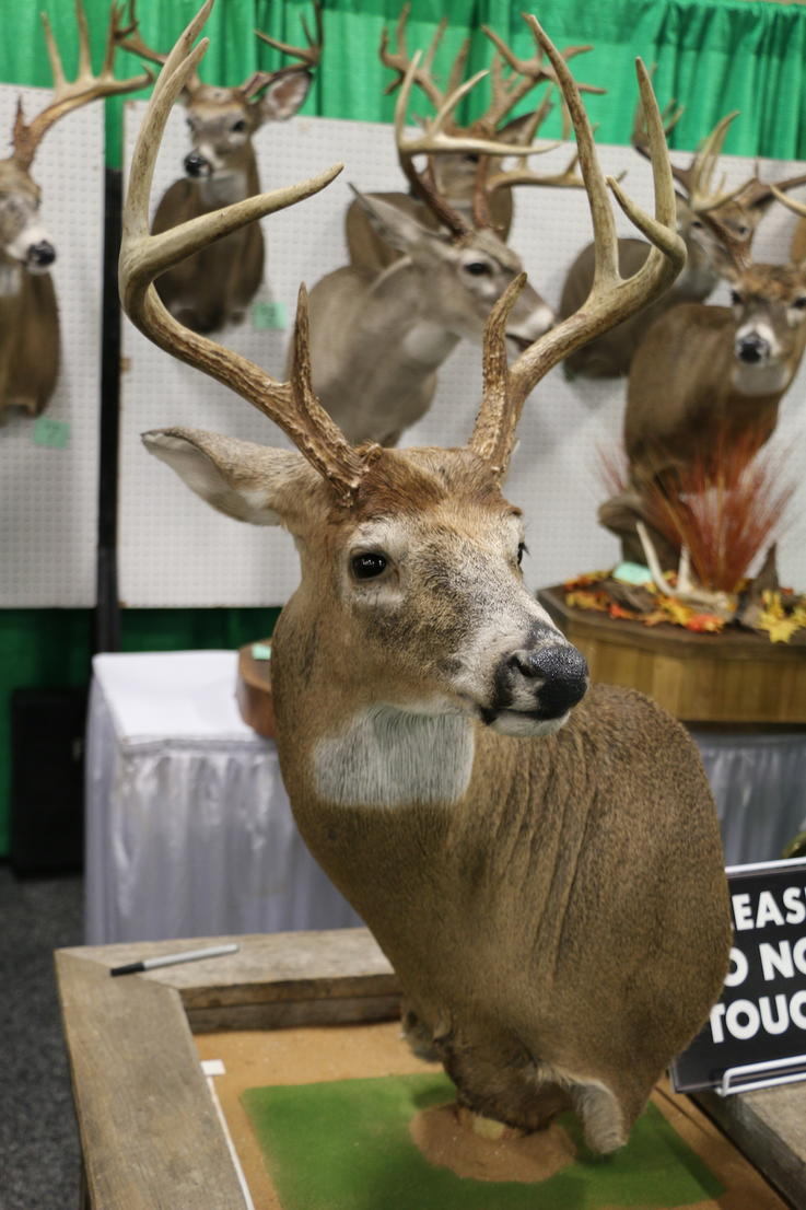 8-Point Buck with Ears Pinned