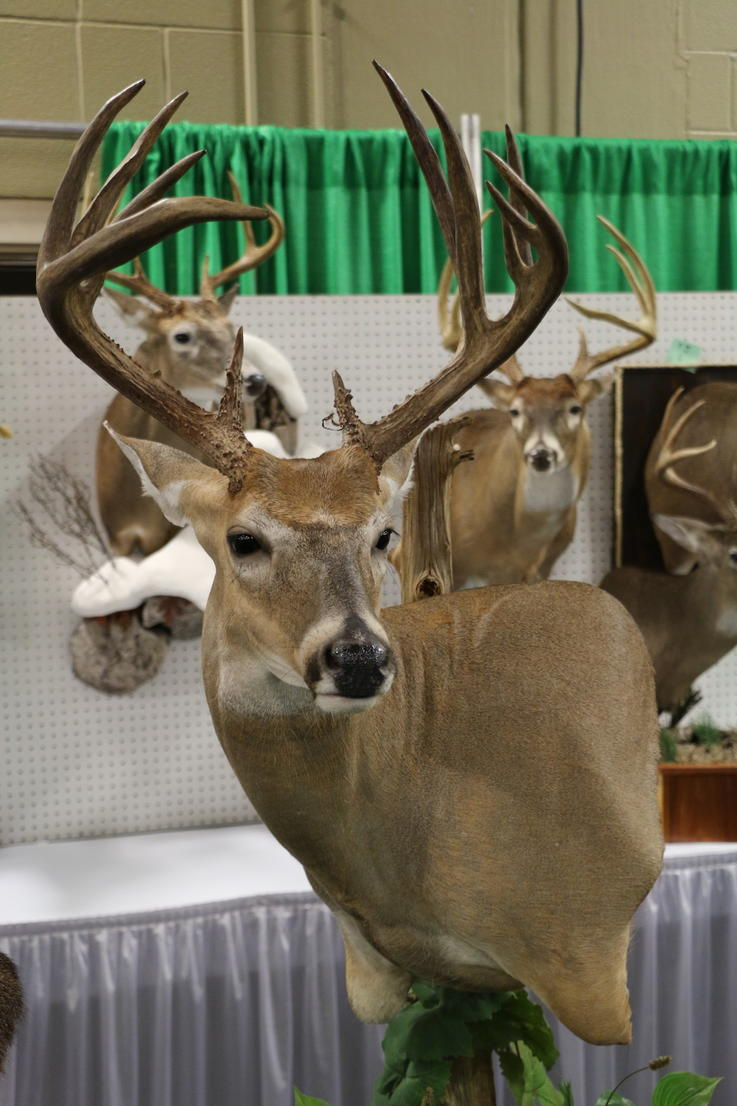 Relaxed 12-Point Buck