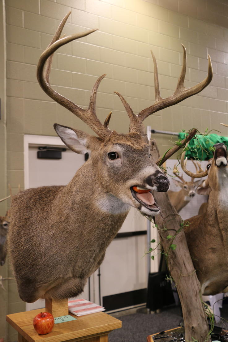 9-Point Buck Chewing Apple