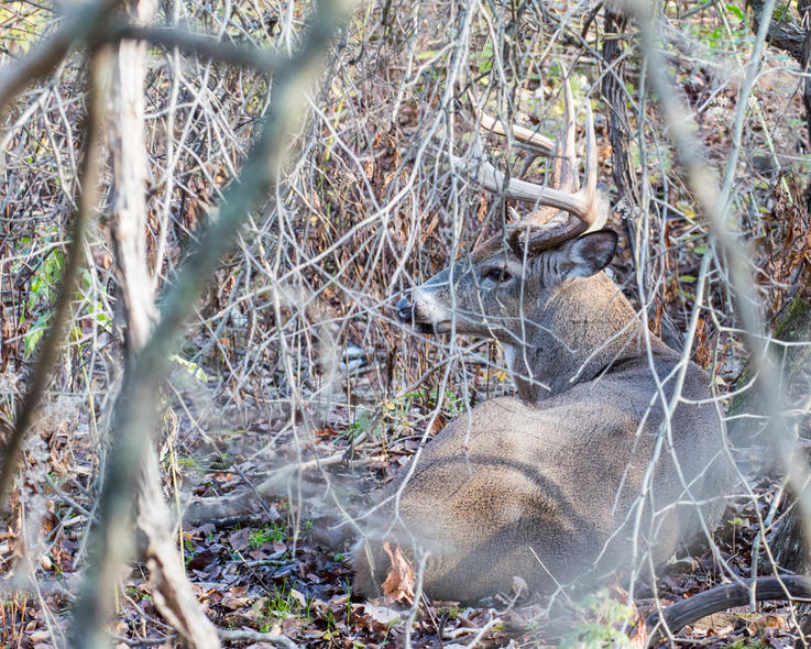 Mature Bucks Are Loyal to Their Beds