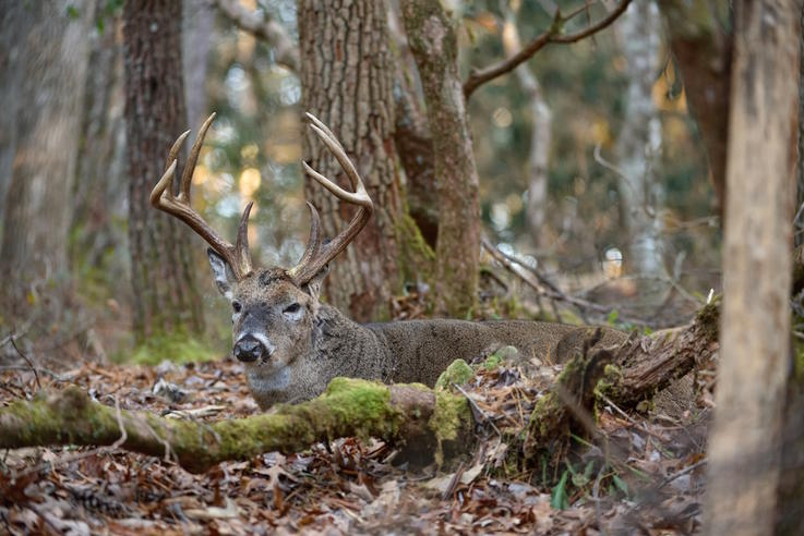 14 Things to Know About Whitetail Deer Bedding Behavior ...