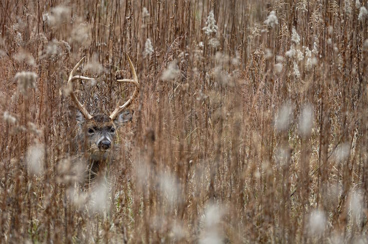 How Bedded Bucks Disappear