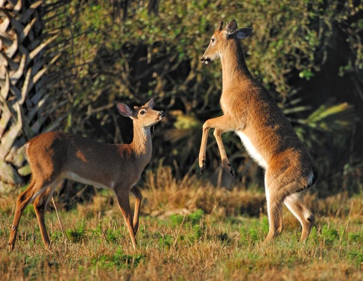 20 Things To Know About Deer Body Language And Behavior Deer Hunting Realtree Camo