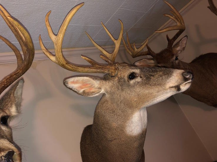 You Put Deer Mounts All Over the House