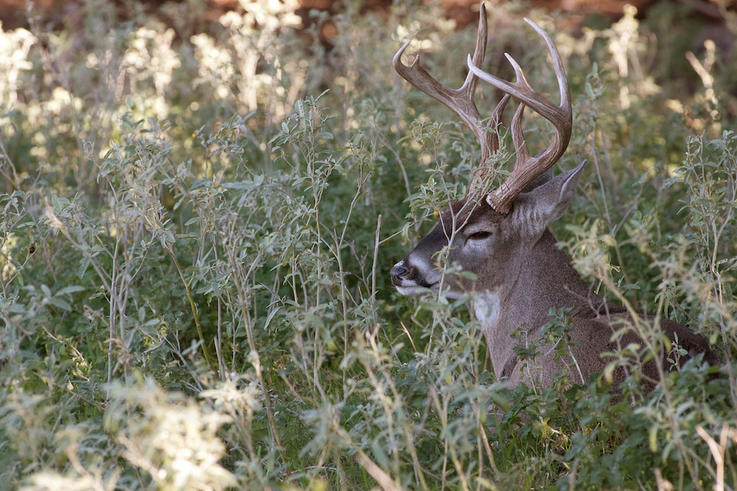 Deer Typically Face Downwind While Bedded