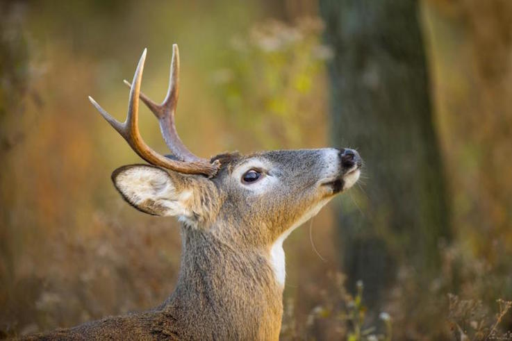 Bucks Travel Significantly Further from Stand Sites by the End of Deer Season