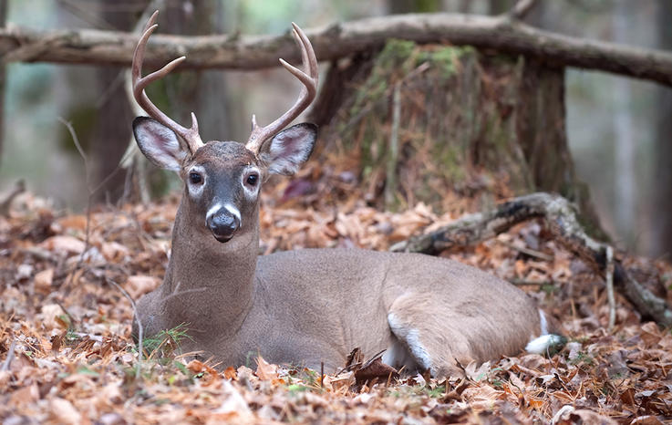 Deer Smell 500 to 1,000 Times Better, See Differently and Hear About the Same as Humans