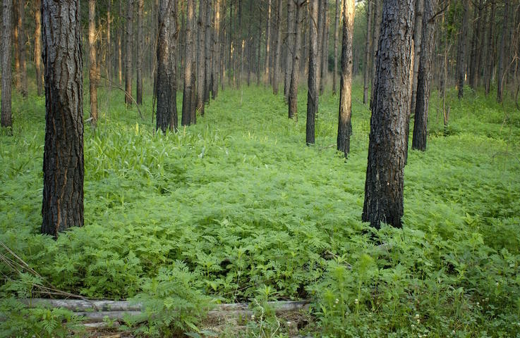 Create Natural Feeding Lanes In Mature Pines