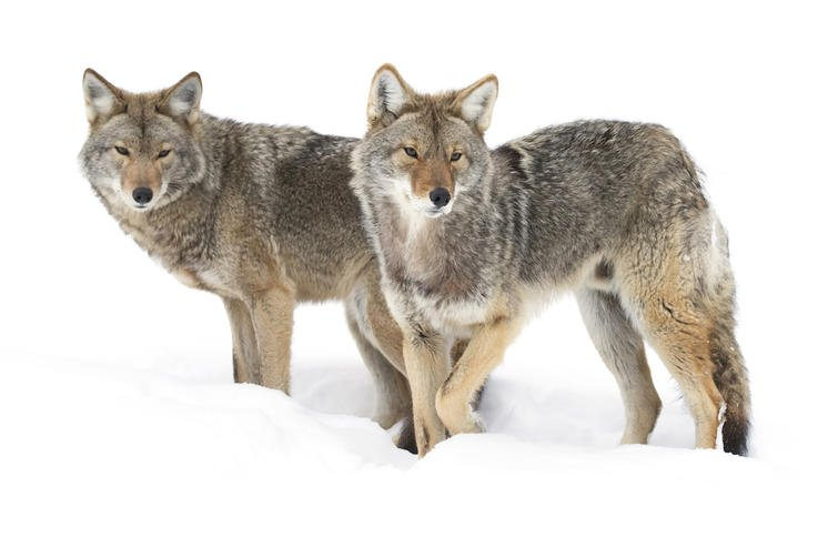 Coyotes Don