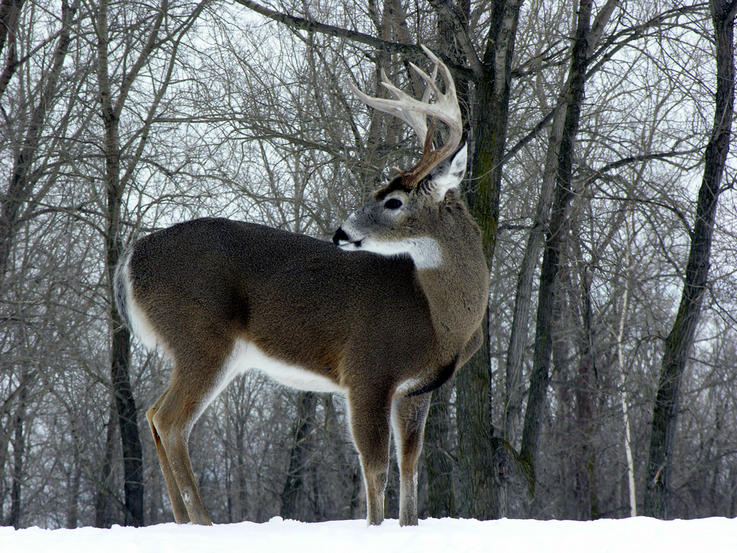 Myth: The Oldest Bucks Live in the Most Remote Areas
