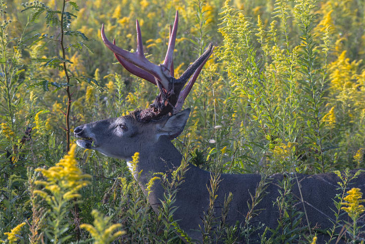 Bucks Do Not Contribute More to Their Offspring's Antler Potential Than Does