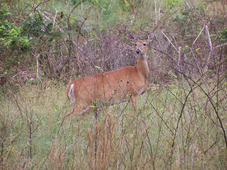 Age Does Not Determine Sexual Maturity in Whitetail Doe Fawns