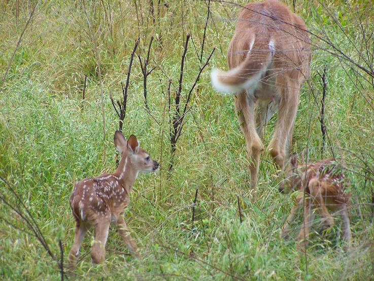 Sibling Fawns Are Not Always Sired by the Same Buck and All Twin Fawns Are Not Identical Twins
