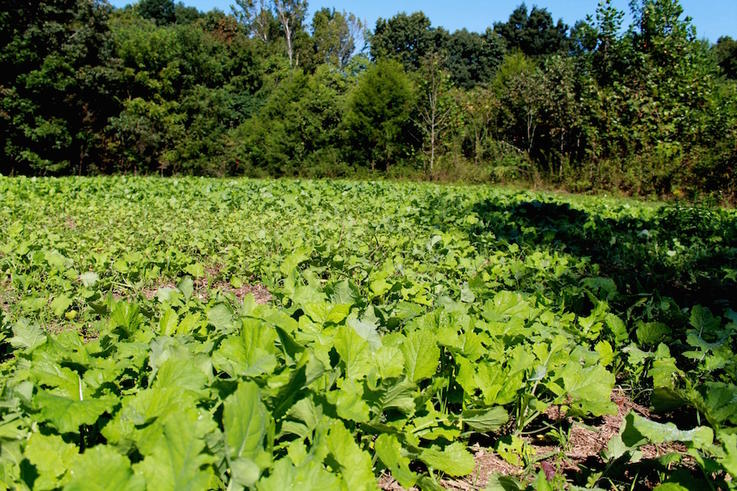 You Don't Maximize Efficiency of the Food Plot