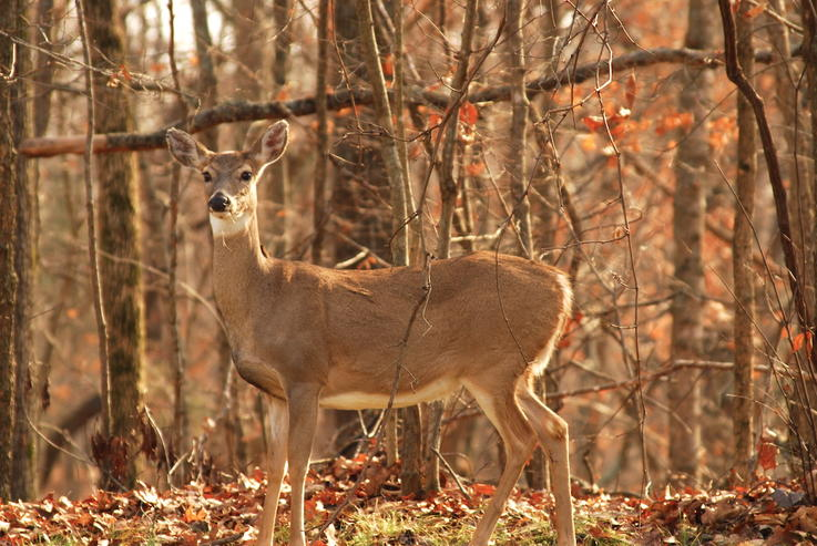It Provides More Food for Whitetails