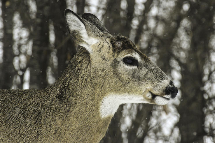 Myth: Cold Weather Triggers the Antler Drop