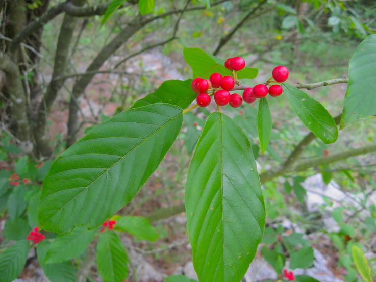 Carolina Buckthorn