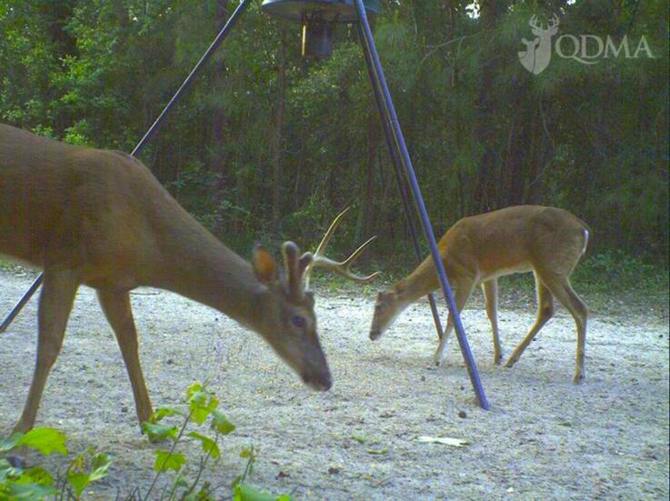 10 Facts to Know About Whitetail Deer Antlers | Deer ...