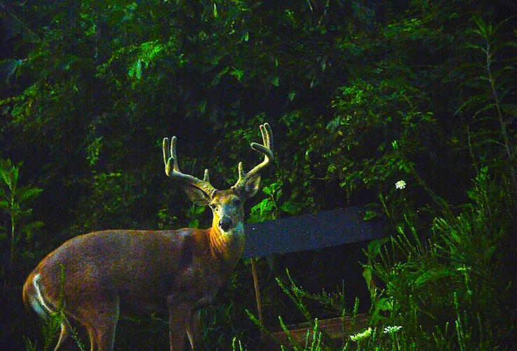Maximus — We Don't Own Whitetails