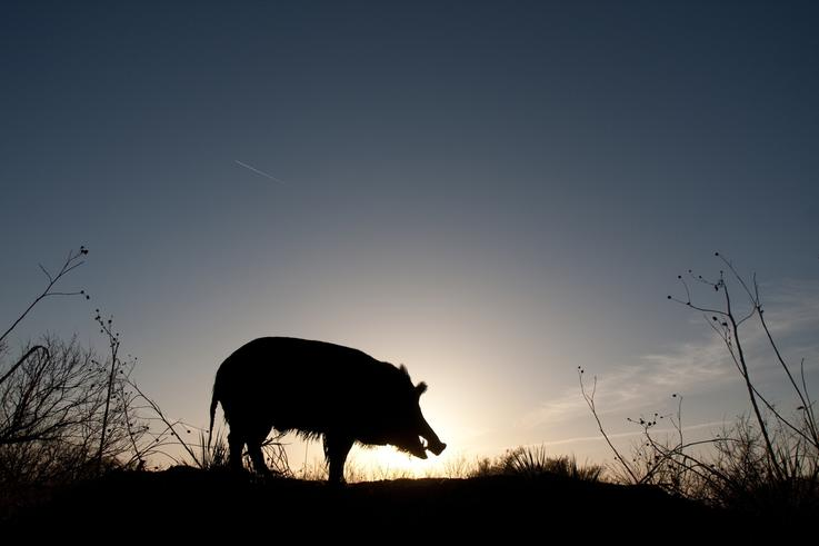 Pigs After Dark
