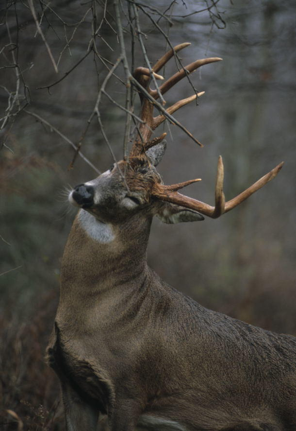 The Anatomy of a Whitetail Scrape | Deer Hunting | Realtree