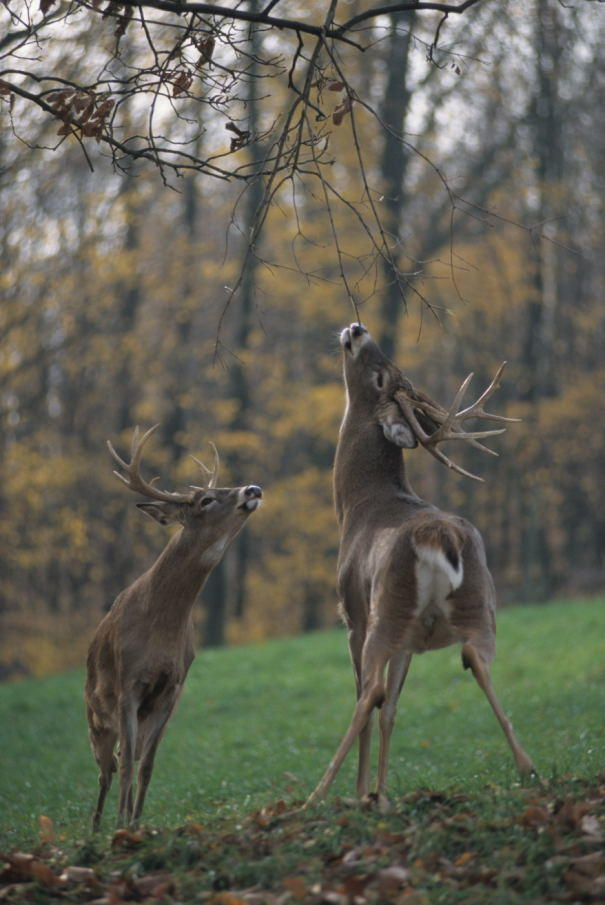 The Anatomy Of A Whitetail Scrape Deer Hunting Realtree Camo