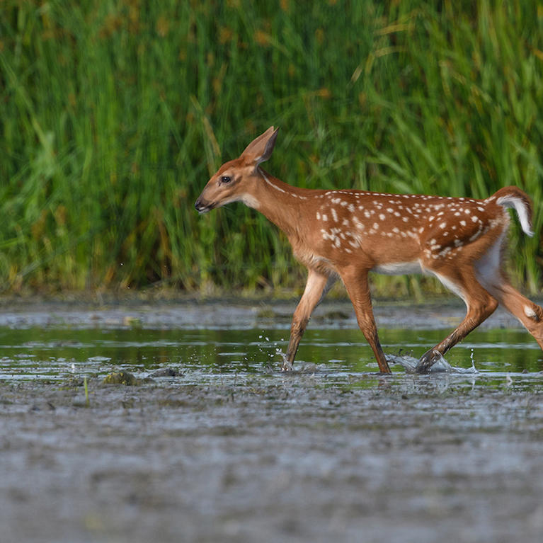 Myth: Touching a Fawn Will Cause Its Mother to Orphan It